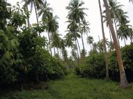 Plantations-de-cacaoyers-certifiee-biologique
