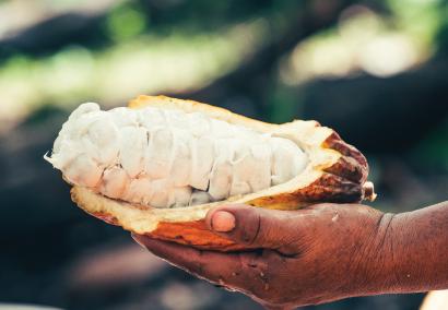 main-qui-tient-une-cabosse-de-cacao-ouverte