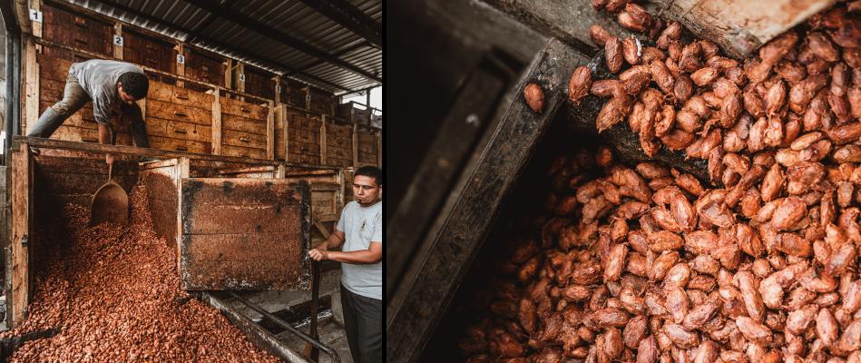 feves-de-cacao-dans-caisses-en-bois-pour-fermentation
